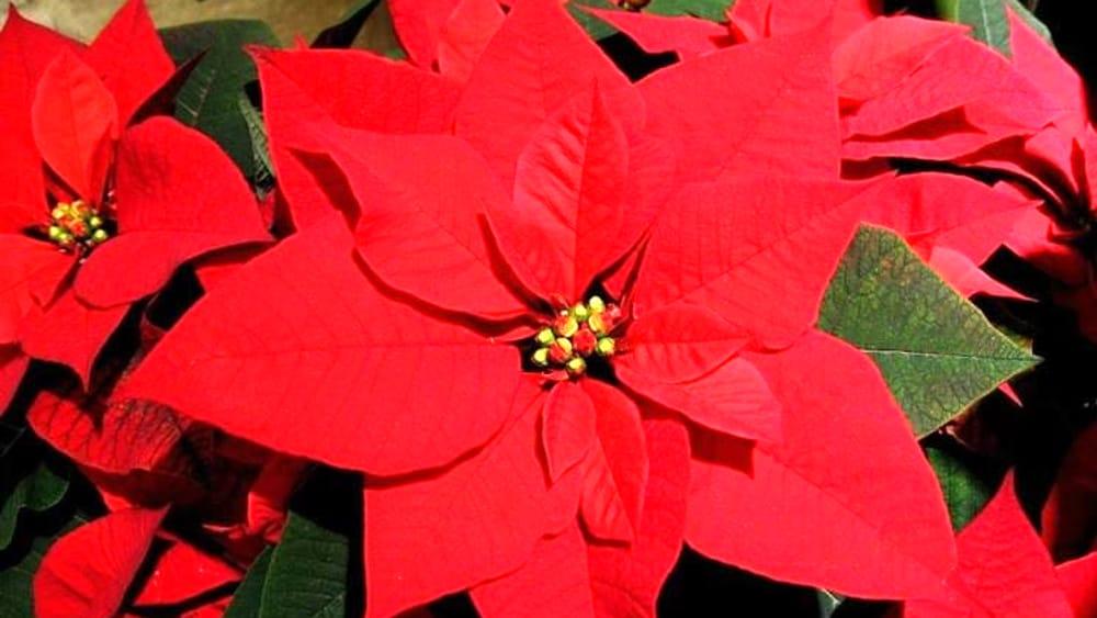 Airc Stella Di Natale.Stelle Di Natale Ail A Latina E Provincia